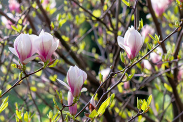 white magnolia blossom background in backlit sunlight. beautiful nature scenery in springtime