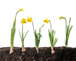 Photo sur Plexiglas Narcisse Narcissus flower with roots and soil isolated on white background