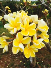Photo Blinds Plumeria Yellow plumeria blooming on island