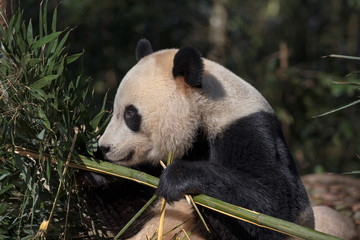 Fotomurales - Panda Bear Sniffing Bamboo, Bifengxia Panda Reserve in Ya'an Sichuan Province, China. Panda