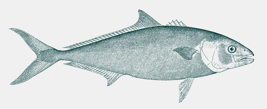 California yellowtail, seriola dorsalis, a fish from the Pacific Ocean in side view