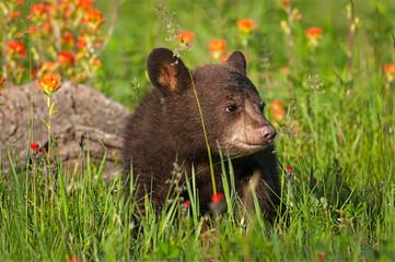Wall Mural - Black Bear Cub (Ursus americanus) Stands Admist Grass and Prairie Fire Flowers Summer