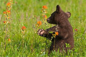Wall Mural - Black Bear Cub (Ursus americanus) Turns Back to Sniff Prairie Fire Flower Summer