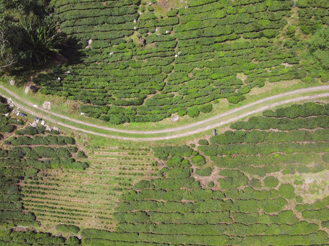 Aerial view of narrow road in green tea plantation valley in Malaysia, beautiful Cameron highlands landscape, tourism and agriculture concept