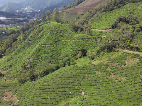 Aerial view of green tea plantation valley in Malaysia, beautiful Cameron highlands landscape, tourism and agriculture concept