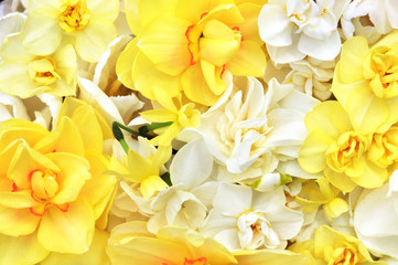 Spring blossoming yellow daffodils, springtime blooming narcissus (jonquil) flowers, shallow DOF, toned