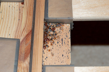 A serious bed bug infestation affecting a residential bedroom where bedbugs developed undetected on the frame of a double bed beneath the mattress under and between the plastic clips of wooden slats.