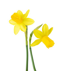 Papiers peints Narcisse Two small yellow Narcissus isolated on white background.