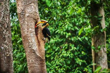 Male Great Hornbill feeding the female at the nest.
