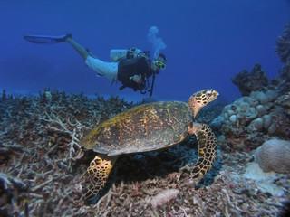 Fotorolgordijn Schildpad Diver looking at sea turtle. Great Barrier Reef Australia.