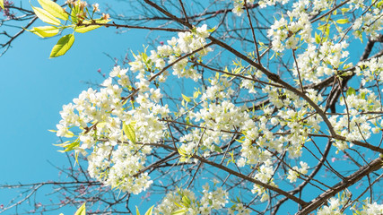 White wild Himalayan cherry blossom in a garden.