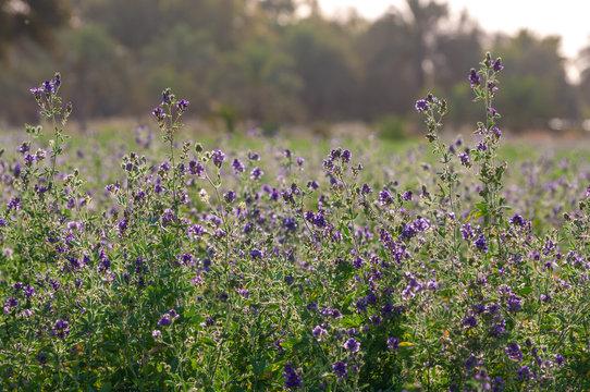 a alfalfa plant farm in iran