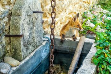 Permanent wachsam - Rotfuchs löscht seinen Durst am Brunnen