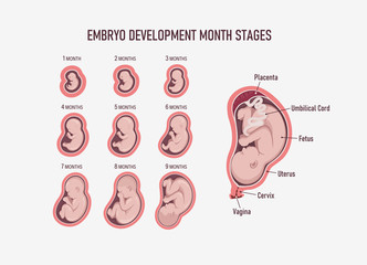Human embryo, stages of fetal development 1 to 9 months . Human fetus inside the womb