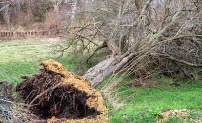 entwurzelter Baum nach einem Orkan