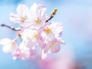 Deurstickers Kersenbloesem 桜 cherry blossom 1