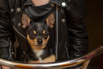 Chihuahua black, brown and white. Pet.dog poses, a series of photos with a chihuahua. Mini breed Chihuahua Smooth Shorthair