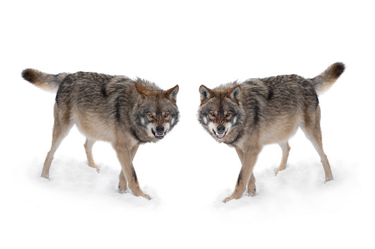 two gray wolf with a grin is isolated on a white background.