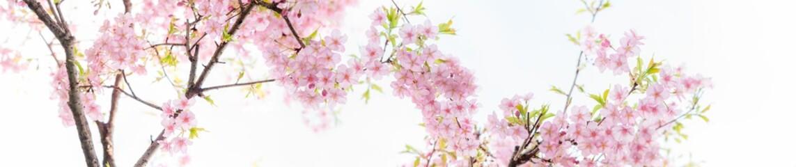 Keuken foto achterwand Kersenbloesem 満開の河津桜 白背景 パノラマ