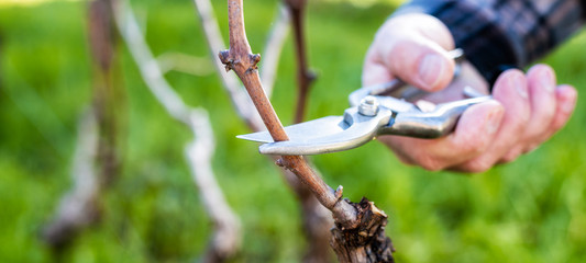 Close-up of a vine grower hand. Prune the vineyard with professional steel scissors. Traditional agriculture.