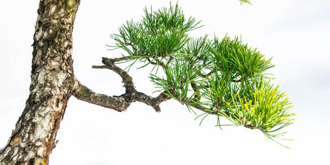 Foto op Plexiglas Bonsai A close-up of the branches of a pine bonsai isolated on white background.