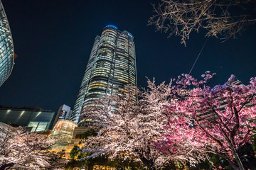 Tokyo Japan - March 27, 2019: Cherry blossoms at night, Roppongi Hills Mori Tower