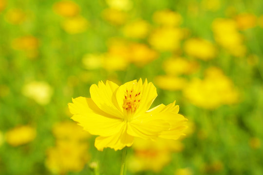 Flowers scene of fresh bloom of yellow Sulfur Cosmos with blurred background - yellow nature garden concept - Floral backdrop and beautiful detail