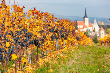 Vineyard in autumn near Pulkau, Lower Austria, Austria