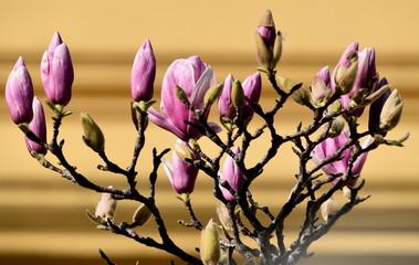Foto auf AluDibond Magnolie Magnolia