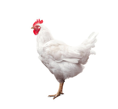 White rooster isolated on white background