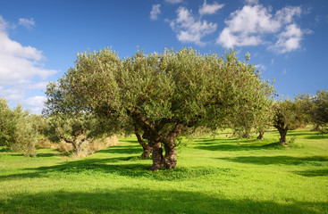 Tuinposter Olijfboom Olive grove during the olive harvest season in Greece, Crete, December