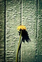 Vintage Photo of Dandelion
