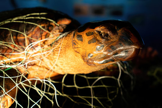 Poor turtle stuck in fishing net on neck and its body. Close up of face dead sea turtle in a fishing net strangled to death. Ocean enviromental destruction.
