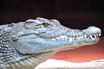 A close-up of a crocodile head and its sharp teeth