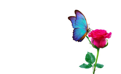 Morpho butterfly sitting on a rose isolated on white. red roses and a bright blue butterfly close up. decor for greeting card. copy space