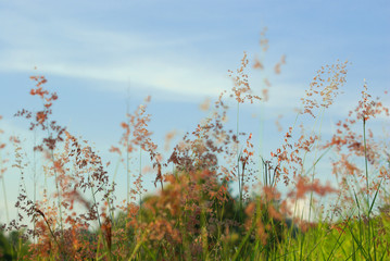 Wall Mural - Flower of Natal redtop ruby grass in wind and blue sky
