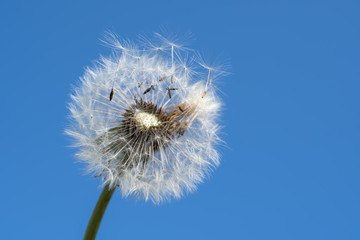 Tuinposter Paardenbloem Dandelion with seeds blowing away in the wind across a clear blue sky