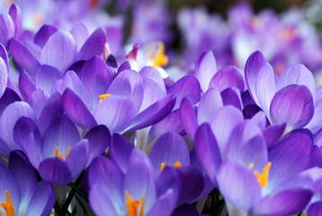 Foto op Aluminium Iris krokuswiese