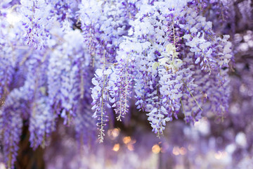 Fotomurales - Spring flowers wisteria. Flowering tree blooming in sunset garden. Beautiful flowers tunnel blossom in Japanese park.