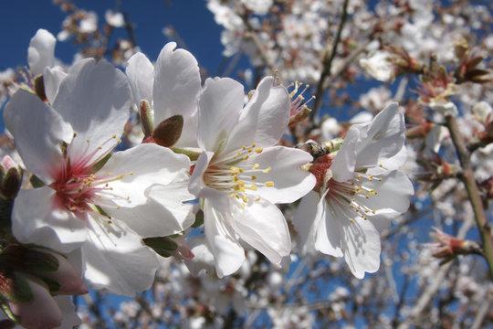 Mandelblüthen vor blauem Hintergrund in der Sonne
