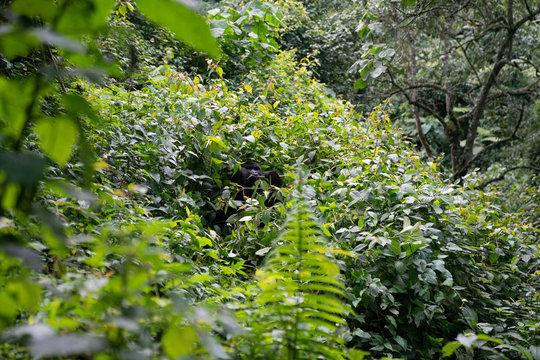uganda wildlife bwindi impenetrable forest  mountain gorilla