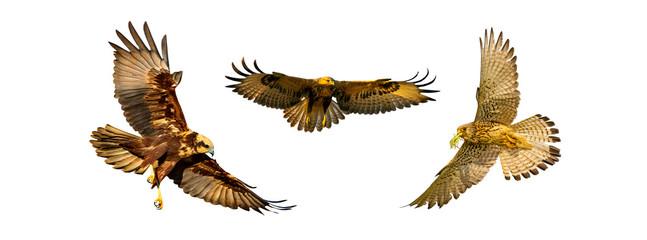 Isolated bird set. White background. Birds: Western Marsh Harrier, Long legged Buzzard, Lesser Kestrel.  Fototapete