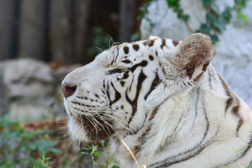Wall Mural - White tiger portrait, profile, blurred background