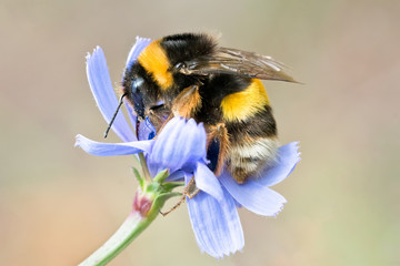 Papiers peints Bee Bumblebee on blue wild flower