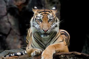 Fotorolgordijn Tijger Sumatran tiger in various pose