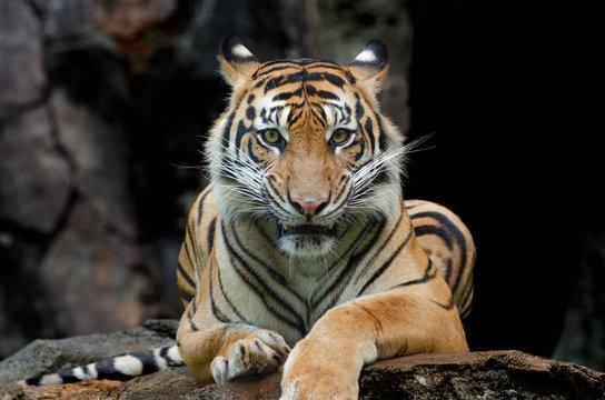 Sumatran tiger in various pose