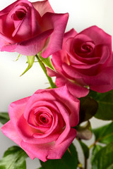 Three colorful and vibrant pink roses