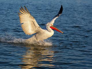Fotoväggar - Dalmatian pelican, Pelecanus crispus
