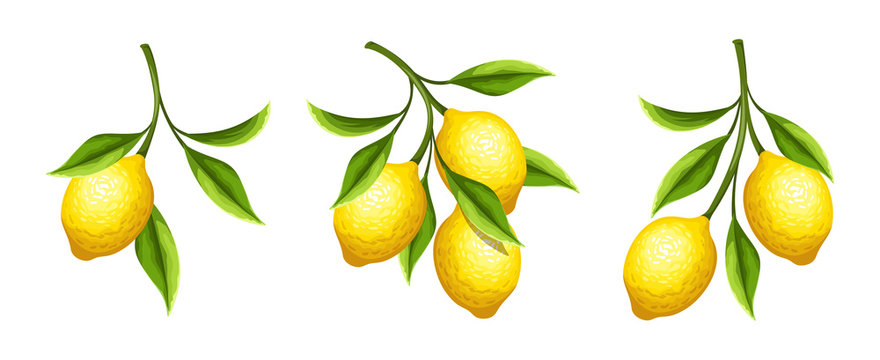 Vector set of lemon branches with fruit and leaves isolated on a white background.