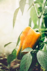 Close up of homegrown organic sweet peppers growing in a vegetable greenhouse garden.